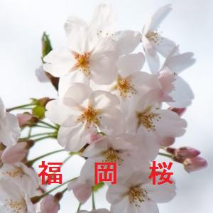 福岡の桜情報