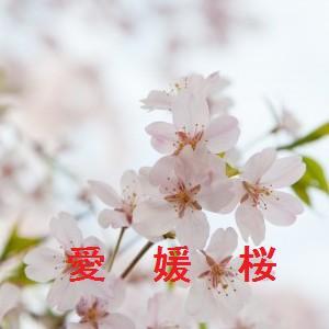 愛媛の桜情報