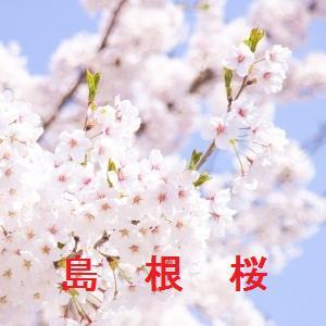 島根の桜情報