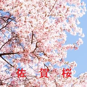 佐賀の桜情報