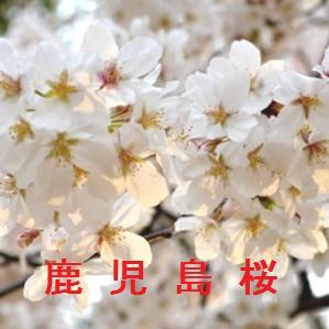 鹿児島の桜情報