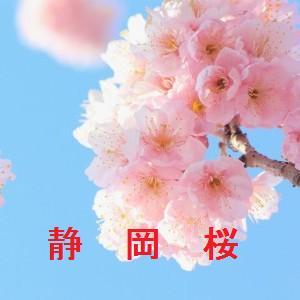 静岡の桜情報