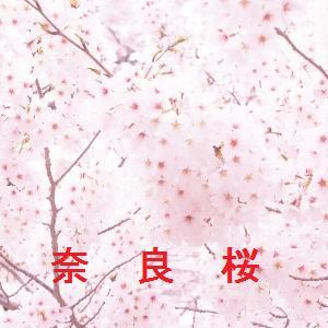 奈良の桜情報