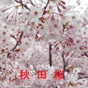 秋田の桜情報