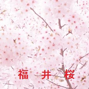福井の桜情報