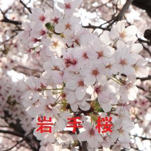 岩手の桜情報