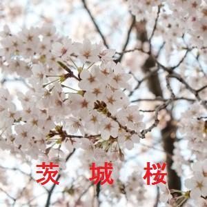 茨城の桜情報