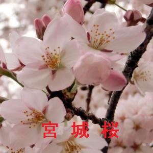 宮城の桜情報