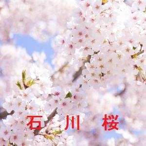 石川の桜情報