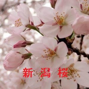 新潟の桜情報