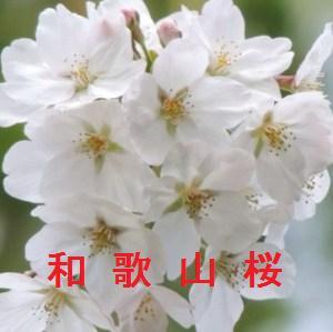 和歌山の桜情報