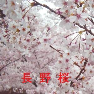 長野の桜情報