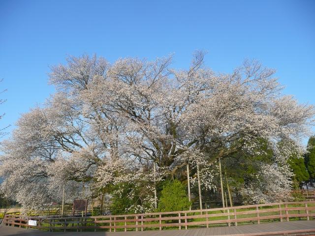 一心行の大桜