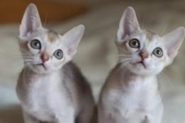シンガプーラの仔猫 Singapura Kittens