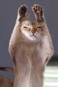 シンガプーラ ジジ Singapura Cat GIGI