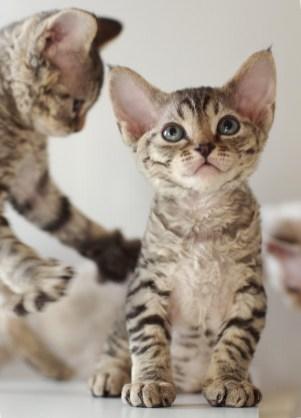 デボンレックスの仔猫 ブラウンタビー Devon Rex Kittens