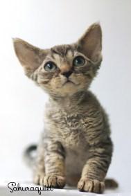 デボンレックスKIKIの仔猫 ブラウンタビー♂ Devon Rex Kitten BrownTabby