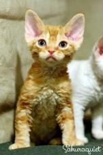 デボンレックスSNIPの仔猫 レッドクラシックタビー Devon Rex Kitten RedClassicTabby