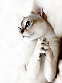 シンガプーラ Singapura Cat