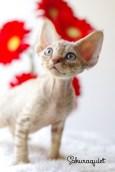 デボンレックスSNIPの仔猫 チョコレートマッカレルタビー♂ Devon Rex Kitten ChocolateMackerelTabby