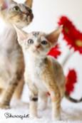 デボンレックスSNIPの仔猫 クラシックトービー&ホワイト♀ Devon Rex Kitten ClassicTorbie&White