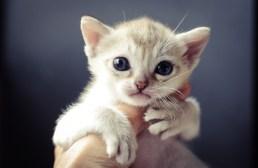 シンガプーラ アセラ 仔猫 #9792; SINGAPURA ACELA KITTEN