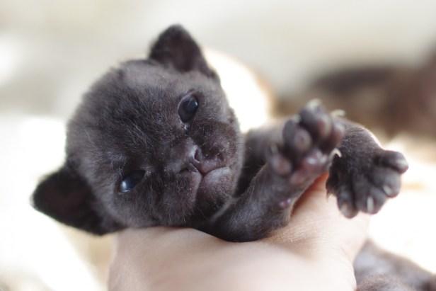 デボンレックスCATERINAの仔猫 ブラック♀ Devon Rex Kitten Black