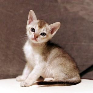 シンガプーラ ジジ 仔猫 ♂ SINGAPURA GIGI KITTEN