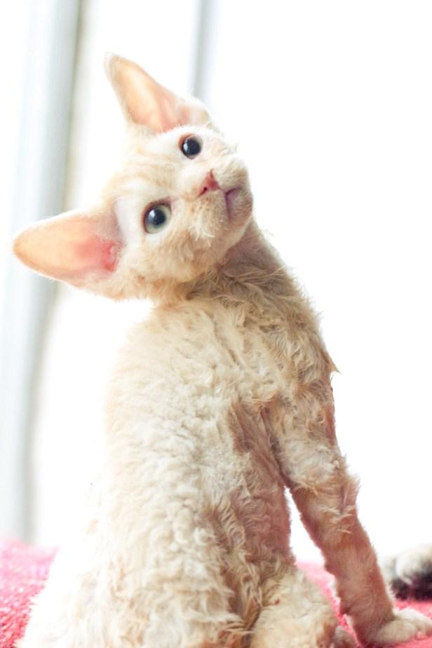 デボンレックスCATERINAの仔猫 レッドクラシックタビー♀ Devon Rex Kitten RedTabby