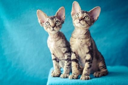 デボンレックスKIKIの仔猫 ブラウンクラシックタビー ブラウンマッカレルタビーメスDevon Rex Kitten BrownMackerelTabby BrownClassicTabby