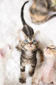 デボンレックスSNIPの仔猫 ブラウンクラシックタビー♀ Devon Rex Kitten BrownClassicTabby