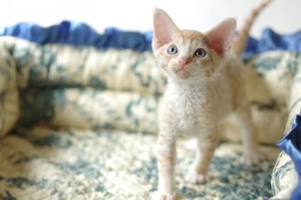 デボンレックスSNIPの仔猫 レッドマッカレルタビー&ホワイト♂ Devon Rex Kitten RedMackrelTabby&White