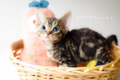 デボンレックス 仔猫