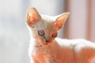 デボンレックスKIKIの仔猫 ブラウンマッカレルタビーオス Devon Rex Kitten Lynx point