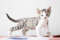 デボンレックスSNIPの仔猫 ブラウンマッカレルタビー&ホワイト♀ Devon Rex Kitten MackrelTabby&White