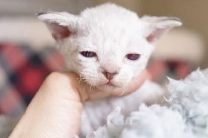デボンレックスSNIPの仔猫 リンクスポイント/ホワイト Devon Rex Kitten Lynx point White