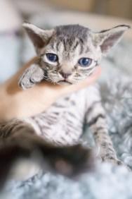 デボンレックスSNIPの仔猫 ブラウンマッカレルマッカレルタビー♂ Devon Rex Kitten BrownMackrelTabby