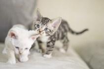 デボンレックスSNIPの仔猫 ブラウンマッカレルタビーアンドホワイト ♂ Devon Rex Kitten BrownMackerelTabbyandWhite