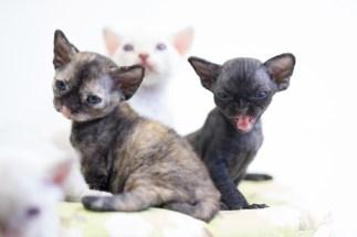 デボンレックスKIKIの仔猫 Devon Rex Kittens