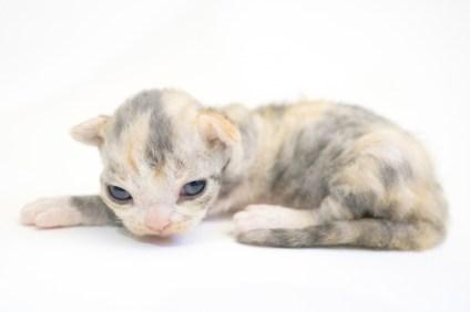 デボンレックスSNIPの仔猫 ブラウンシルバーマッカレルトービー&ホワイト♀ Devon Rex Kitten BrownSilverMackerelTorbie&White