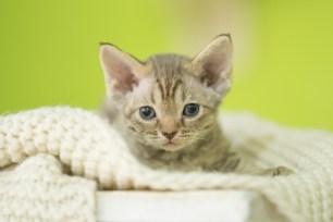 デボンレックスMAKOREの仔猫 チョコレートマッカレルタビーメス Devon Rex Kitten ChocolateMackerelTabby