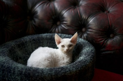 A white devon rex kitten at Ingrid's Cattery