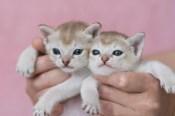 シンガプーラ ACELAの子猫 セーブルティックドタビー Singapura Kittens Sakuraquiet Acela Sable ticked tabby