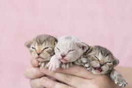 デボンレックス KIKIの仔猫 Devon Rex Kittens