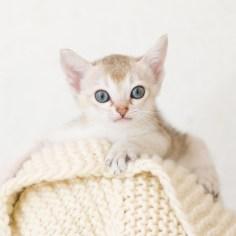 シンガプーラ ACELAの子猫 セーブルティックドタビー メス Singapura Kittens Sakuraquiet Acela Sable ticked tabby female