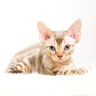 デボンレックス KIKIの仔猫 チョコレートクラシックタビー オス Devon Rex Kittens KIKI Chocolateclassicltabby male