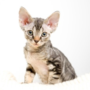 デボンレックスKIKIの仔猫 ブラウンクラシックタビー メス Devon Rex Kittens KIKI Brownclassicltabby female