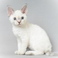 デボンレックス SNIPの仔猫 リンクスポイントメス Devon Rex Kittens SNIP Lynxpoint female
