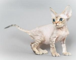 デボンレックス SNIPの仔猫 チョコレートマッカレルタビー オス Devon Rex Kittens SNIP ChocolateMackerelTabby male