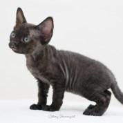 デボンレックス CATERINAの仔猫 ブラック スモーク メス Devon Rex Kittens CATERINA Black smoke female